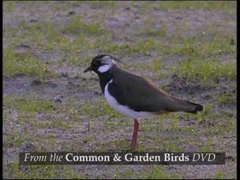 Common & Garden Birds