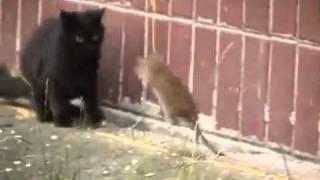 getlinkyoutube.com-Gato x Rato - Verdade ou mito?