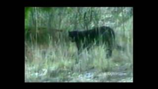 getlinkyoutube.com-Big Cats in Australia - Mystery Black Panthers