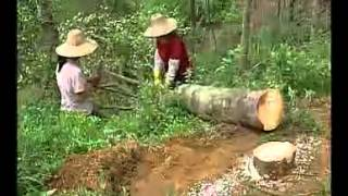 getlinkyoutube.com-沉香树的栽培技术 5-6