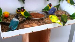 getlinkyoutube.com-Masked lovebirds (Agapornis personatus) feeding ... again!