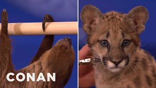 getlinkyoutube.com-Animal Expert David Mizejewski: Sloth & Cougar Kitten  - CONAN on TBS