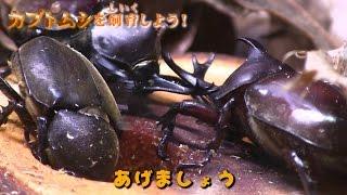 getlinkyoutube.com-カブトムシ飼育!! 格闘シーンも楽しい!(^◇^)Let's breed Beatles 장수풍뎅이 사육