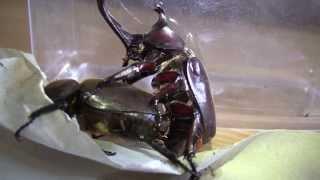 getlinkyoutube.com-Japanese Rhinoceros Beetles - Mating