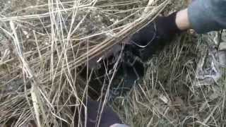 getlinkyoutube.com-Fox Trapping with MB 550 Traps on Frozen Ground
