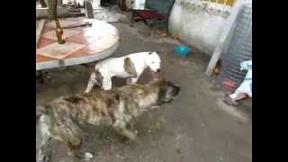 getlinkyoutube.com-Boerboel vs PitBull