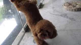 getlinkyoutube.com-Ginger The Red Toy Poodle and her cute little tricks