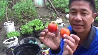 getlinkyoutube.com-Cara Mudah Memulai Menanam Sayuran Tomat di Pekarangan Rumah