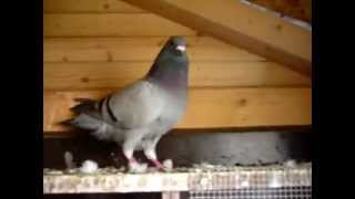 getlinkyoutube.com-Porumbei OBEZI - Metabolism Lent? | Metabolism Problems in Pigeons -  OBESITY!
