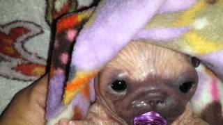 Silicone Pug Puppy's First Pacifier and Nap Routine!