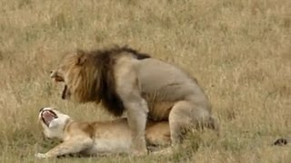 Lion Sex   As Quick As A King