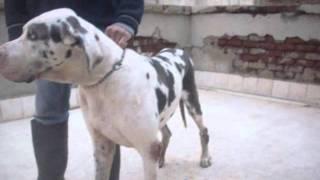 getlinkyoutube.com-كلاب اسكندريه كيتو2 للبيع