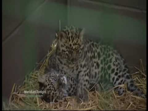 Amur Leopard Cubs - Wildlife Heritage Foundation
