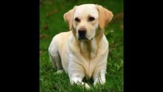 Top 10 chiens de race les plus intelligents (Liste officielle du Kennel Club)