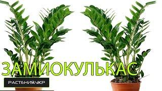 getlinkyoutube.com-Как рассадить долларовое дерево? / Замиокулькас уход в домашних условиях.