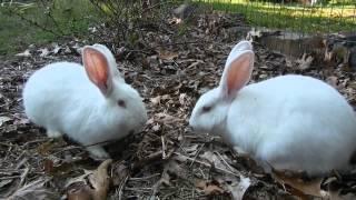 getlinkyoutube.com-Free Range Rabbits!