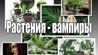 getlinkyoutube.com-ЦВЕТЫ-ВАМПИРЫ, которые не желательно иметь в доме
