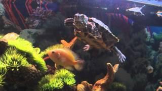 getlinkyoutube.com-Awesome Turtle Tank Setup with Cichlids