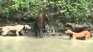 getlinkyoutube.com-dogs attacking a boar.   питбули атакуют кабана