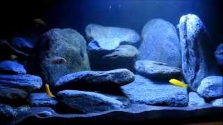getlinkyoutube.com-540 Liter Malawi Aquarium Neueinrichtung Doku