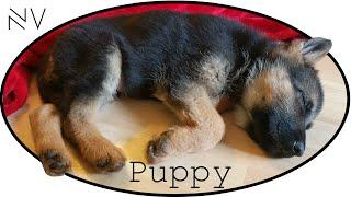 getlinkyoutube.com-I Got A German Shepherd Puppy! | NerdVlog