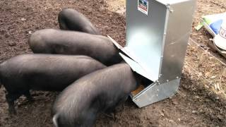 getlinkyoutube.com-Large black pigs figuring out an automatic feeder