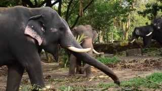 getlinkyoutube.com-Elephant attack at guruvayur punnathoor kotta
