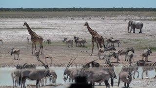 getlinkyoutube.com-Elephant, Giraffe, Zebra, Springbok and Wilderbeest at Etosha National Park - Namibia