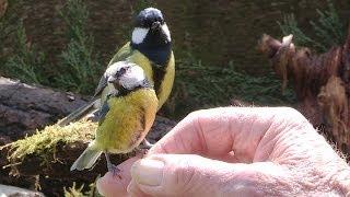 getlinkyoutube.com-A Bird In The Hand -- Hand feeding garden birds.