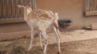 getlinkyoutube.com-Deer Birth Experience