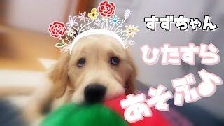 getlinkyoutube.com-ゴールデンレトリバー・すずちゃん・ひたすら遊ぶ
