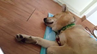 getlinkyoutube.com-호랑이 소리를 들은 진돗개의 반응 1-볼트편 Tiger Sound Dog Reaction 1-Bolt.Funny Dog Videos 재미있는 강아지 동영상