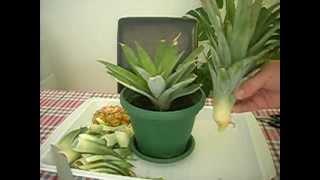 getlinkyoutube.com-Kako zasaditi ananas / How to grow a Pineapple - cat included!