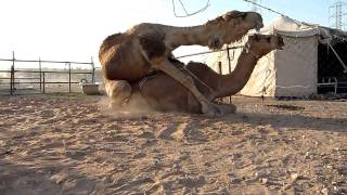 getlinkyoutube.com-Camels mating
