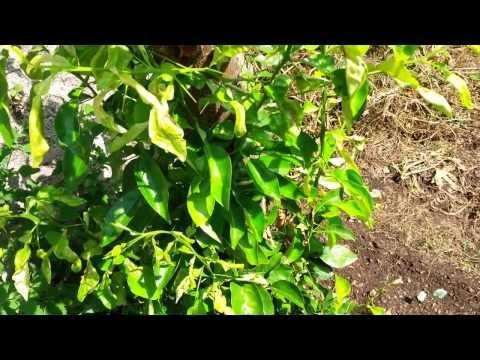 Come potare la pianta del limone fai da te mania for Pianta limone 4 stagioni