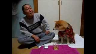 Shiba Dog Stops Man From Drinking