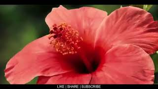 Beautiful flowers | Best natural flower | Best what's ap status video