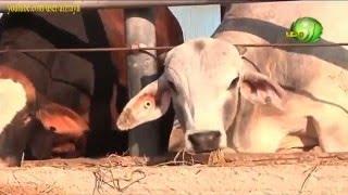 getlinkyoutube.com-مزارع او محجر العجول المستوردة واهم المعاملات داخل المحجر حتى الذبح
