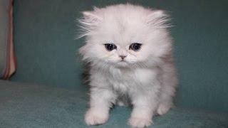 getlinkyoutube.com-OUR NEW KITTEN CLOUD!!!
