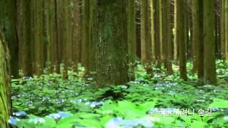 수국이 활짝핀 제주도 사려니숲길