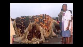 getlinkyoutube.com-самая большая черепаха the biggest turtle in the world