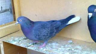 getlinkyoutube.com-kuwaiti roller pigeons # 3 حمام لوت قلابي كويتي