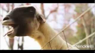 Músicas com a cabra gritando (feat.Cabra/Goat)