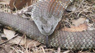 Tiger Snake Removal Ivanhoe.