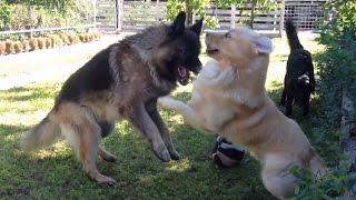 getlinkyoutube.com-German Shepherd VS. Retriever Fight: REVENGE HD