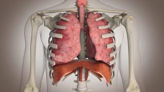 getlinkyoutube.com-El funcionamiento del sistema respiratorio