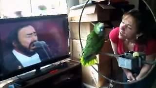 getlinkyoutube.com-Pavarotti parrot sings opera