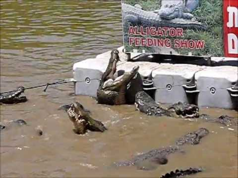 Alligators feeding at Hamat Gader, Israel