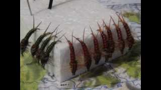 getlinkyoutube.com-WAIOEKA STONEFLY tied on a Nor-Vise by bcproductions