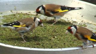 getlinkyoutube.com-Nutrition of breeding pairs goldfinches in tiny insects